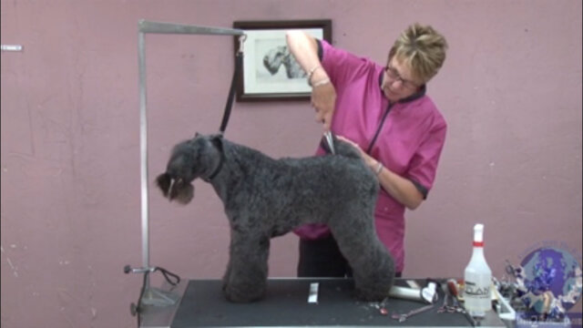 Thumbnail for Styling a Kerry Blue Terrier Tail