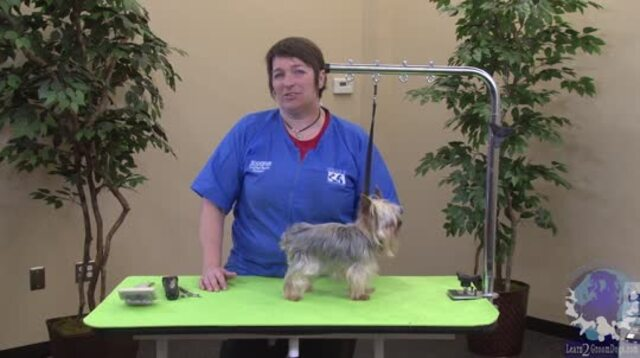 Thumbnail for Yorkie in a Schnauzer Trim