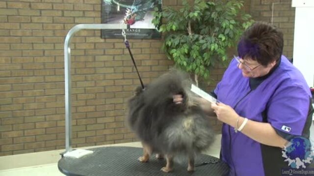 Thumbnail for How to Trim the Rear End of a Pomeranian