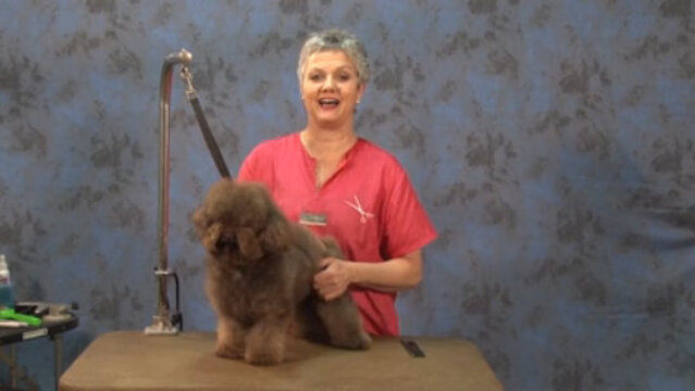 Thumbnail for How to Start an Asian Influenced Trim on a Chocolate Poodle Mix (1 of 2-Part Series)