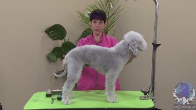 Thumbnail for Grooming a Bedlington Terrier (1 of 4-Part Series)