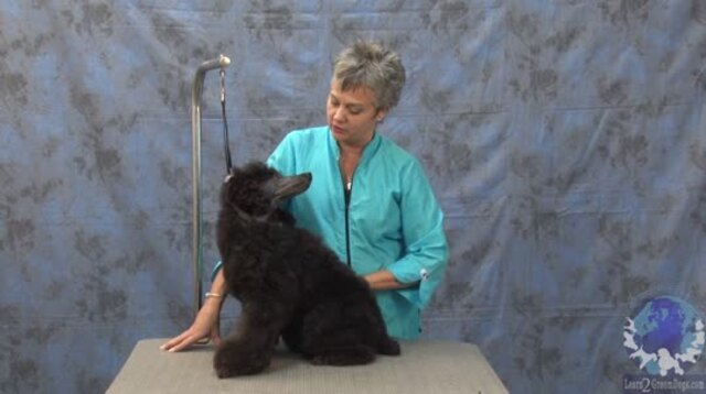 Thumbnail for Getting 'er Done Series: Grooming a Miniature Poodle in a German Trim (Part 1 of 2)