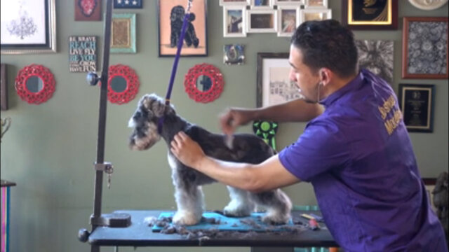 Thumbnail for Asian Fusion on a Schnauzer (Part 2 of 5-Part Series: Working the Jacket)