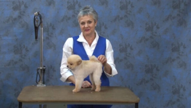 Thumbnail for How to Create a Boo Trim on a Pet Pomeranian