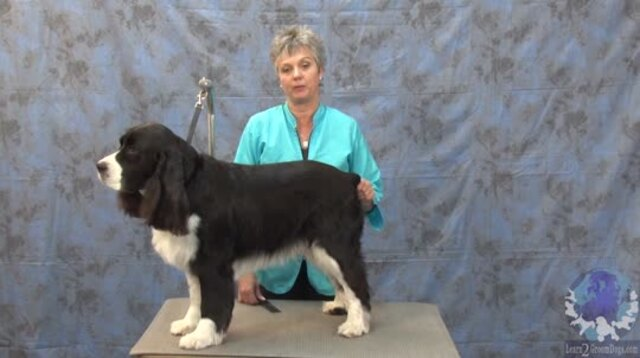 Thumbnail for Grooming a Pet Springer Spaniel Short While Retaining the Integrity of the Breed