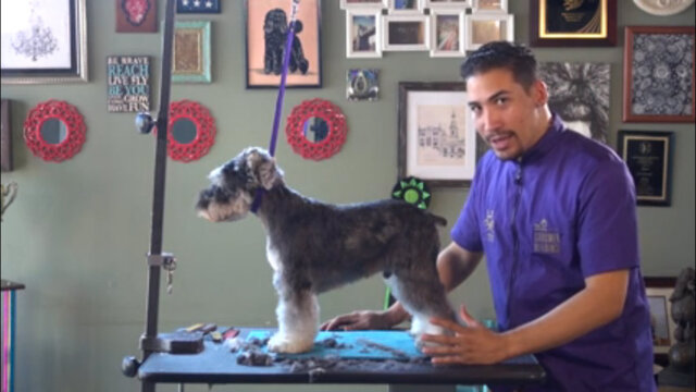 Thumbnail for Asian Fusion on a Schnauzer (Part 3 of 5-Part Series: Trimming Rear Legs and Feet)