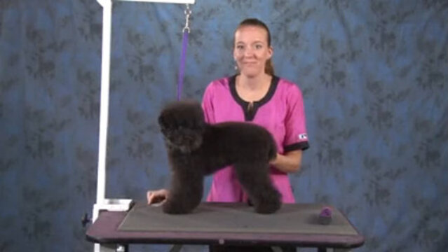 Thumbnail for How to Do a Toy Poodle in a Teddy Bear Trim (Part 1 of 2-Part Series: Trimming the Body and the Legs)