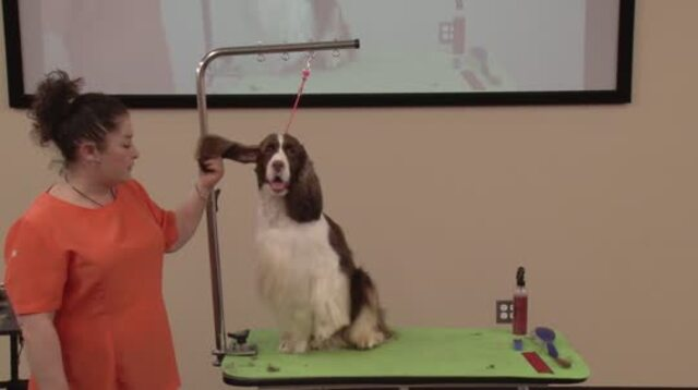 Thumbnail for Grooming a Show Style English Springer Spaniel (Part 1 of 5-Part Series: Clipper Work and Hand-Stripping the Body Coat)