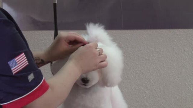 Thumbnail for Asian Confusion on a Bichon (Part 3 of 3-Part Series: Styling the Topknot, Neck, and Applying Eye Lashes)