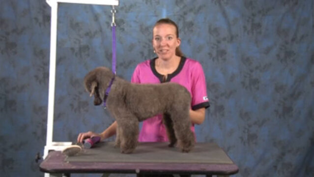 Thumbnail for How to Do a German Influenced Pet Trim on a Poodle (Part 1 of 3-Part Series: Close Work and Setting the Body Pattern)