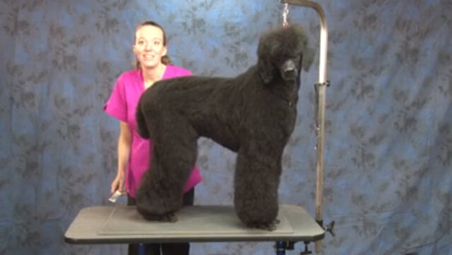 Thumbnail for How to Do a Fast & Stylish Trim on a Standard Poodle (1 of 4-Part Series, Short Clipper Work on the Feet, Cuff, and Face)