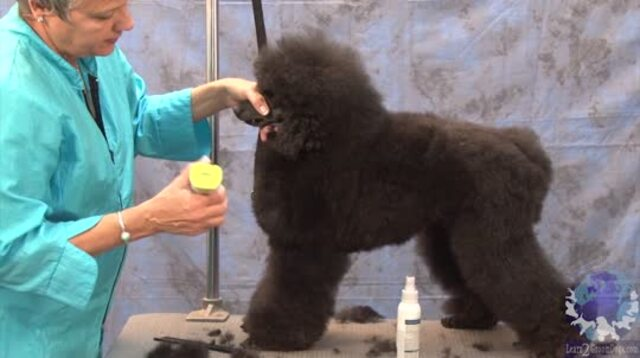 Thumbnail for Reduce Scissoring Time by Using a Guard Comb to Establish the Profile of a Poodle in a German Trim