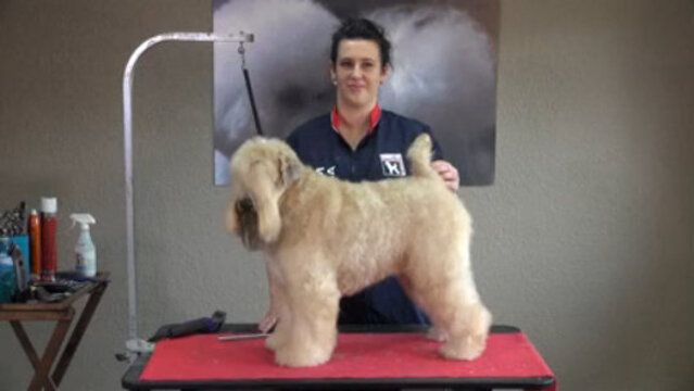 Thumbnail for Soft Coated Wheaten Terrier in an Easy Pet Trim (Part 1 of 4-Part Series: Setting the Body Pattern with Guard Combs)