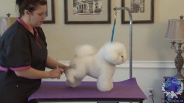 Thumbnail for Rounding the Rear Foot of a Show Styled Bichon