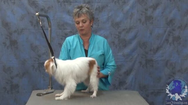 Thumbnail for Getting 'er Done Series:Doing a Personality Trim on a Pet Japanese Chin