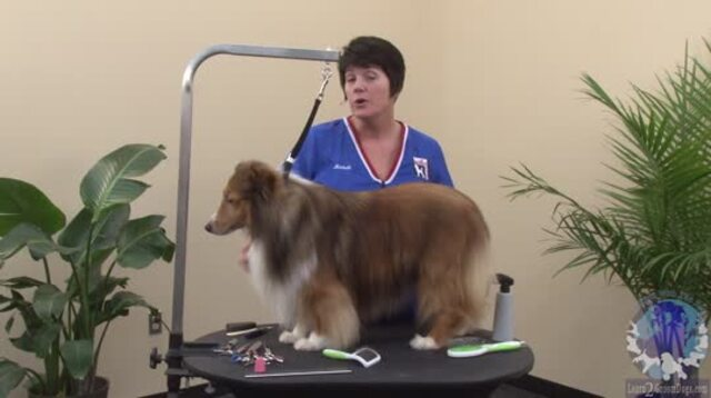 Thumbnail for How to Groom a Shetland Sheepdog for the Conformation Show Ring (Part 1 of 3)
