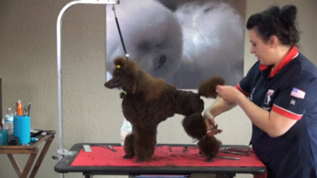 Thumbnail for Setting the English Saddle Trim on a 10-Month-Old Miniature Poodle Puppy (Part 1 of 3-Part Series: Setting the Rear Assembly and Shaping the Bracelets)