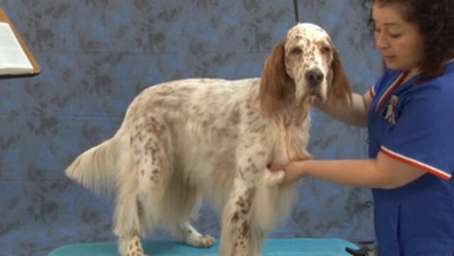 Thumbnail for Setting the Chest on an English Setter