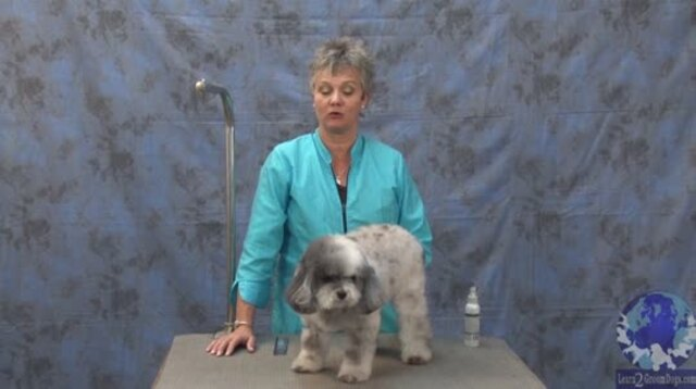Thumbnail for Getting 'er Done Series: Grooming Bichon Poodle Mix with a Round Head & Fuller Legs