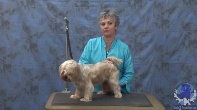 Thumbnail for Grooming a Silky Terrier Mix In a Cute Personality Trim