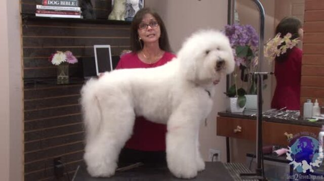 Thumbnail for Standard Poodle Wearing a Bichon Suit (Part 1 of 5-Part Series)