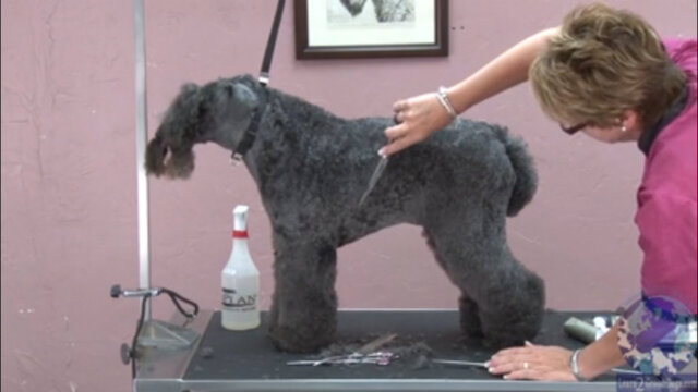 Thumbnail for Setting the Tuck-Up While Shaping the Rib Cage Area on a Kerry Blue Terrier