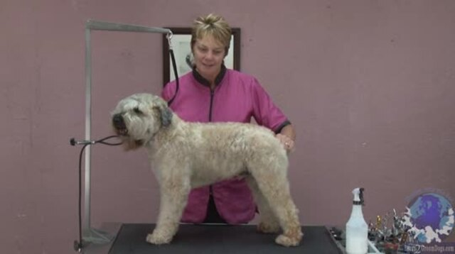 Thumbnail for Grooming a Soft Coated Wheaten Terrier in a Non-Traditional Trim