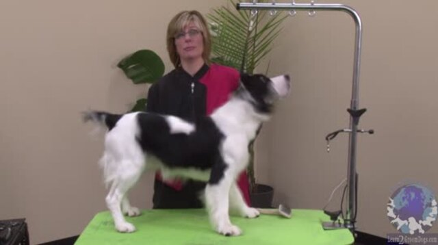 Thumbnail for 2 for 1 Lesson! Grooming a Natural Backed Pet Springer Spaniel Combined with Gentle & Effective Handling Skills