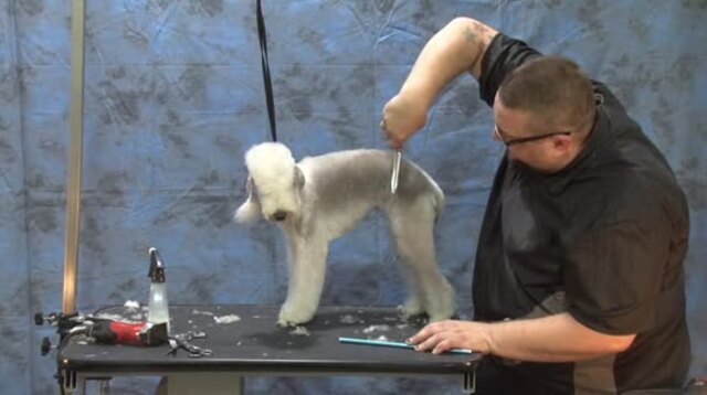 Thumbnail for Grooming the Bedlington Terrier (Part 1 of 2-part Series)