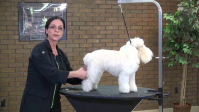 Thumbnail for What to Look for When Selecting & Preparing a Poodle for Certification or Contest Pet Grooming