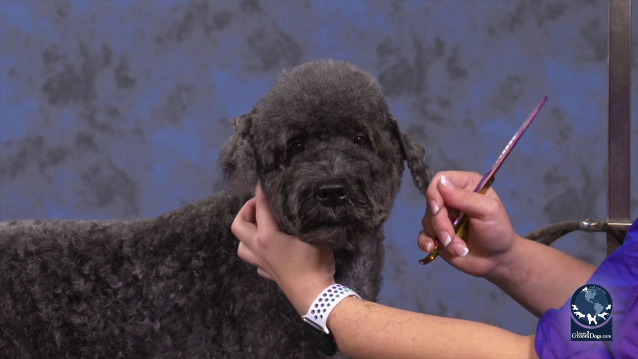 Thumbnail for Speed & Efficiency with a Kerry Blue in a Pet Personality Trim (Part 2 of 2)