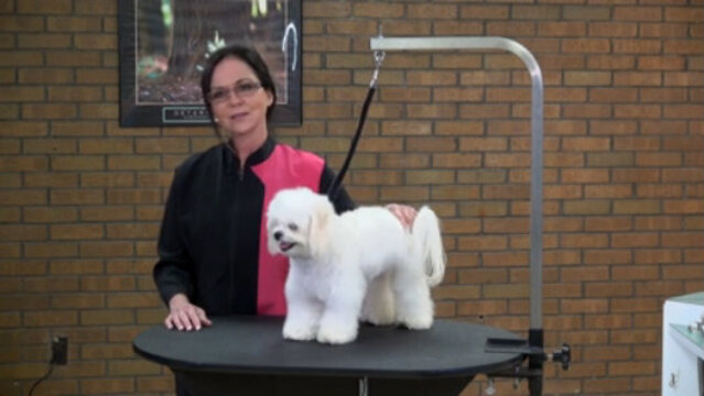 Thumbnail for Everyday Salon Styling on a Maltese Mix (Part 1 of 5-Part Series: Evaluating the Pet)