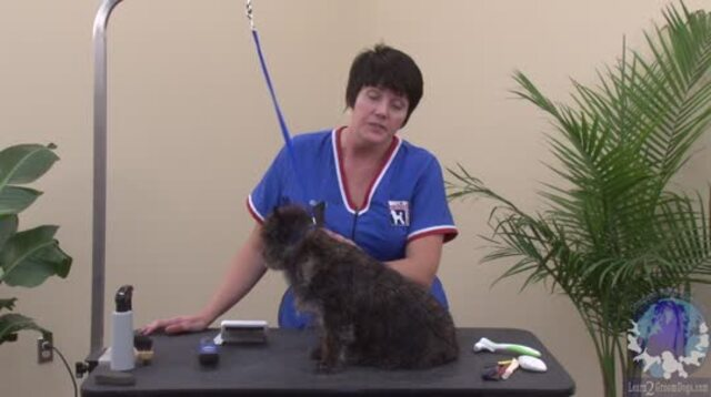 Thumbnail for Cairn Terrier Grooming: Handstripping a Blown Coat