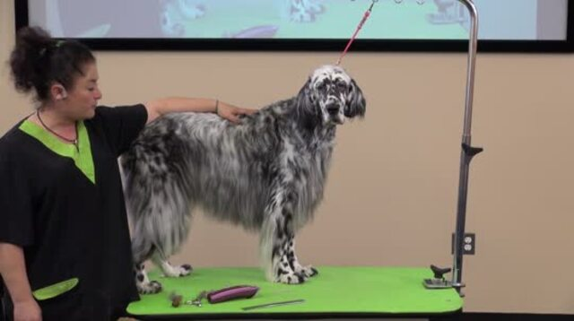 Thumbnail for Learn How Easy It Is To Handstrip a Pet English Setter (Part 1 of 5-Part Series: Trimming the Ears, Head, and Throat)