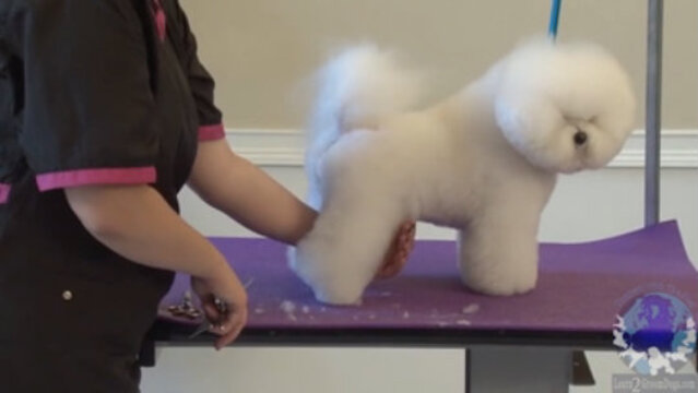 Thumbnail for Setting in the Rear Angulation on a Show Styled Bichon