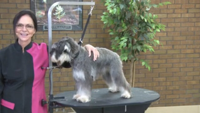 Thumbnail for Capturing the Essence of a Miniature Schnauzer Using Pet Grooming Techniques (Part 1 of 4-Part Series: Setting the Body Pattern)