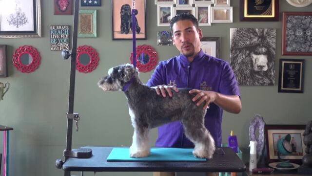 Thumbnail for Asian Fusion on a Schnauzer (Part 1 of 5-Part Series: Clipper Work)