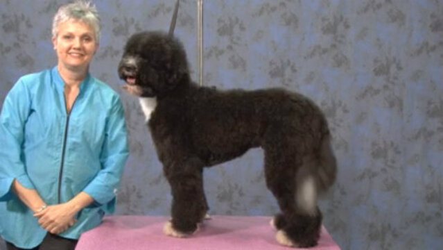 Thumbnail for Portuguese Water Dog in a Working Retriever Trim (Part 1 of 4-Part Series: Setting the Body Pattern)
