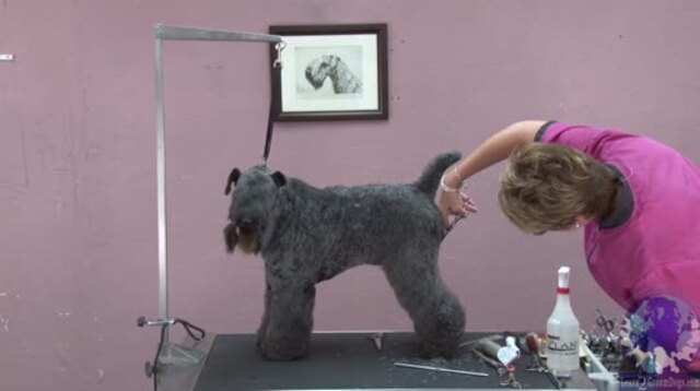 Thumbnail for The Secret to Setting in Side Angulation on the Rear Leg of a Kerry Blue Terrier