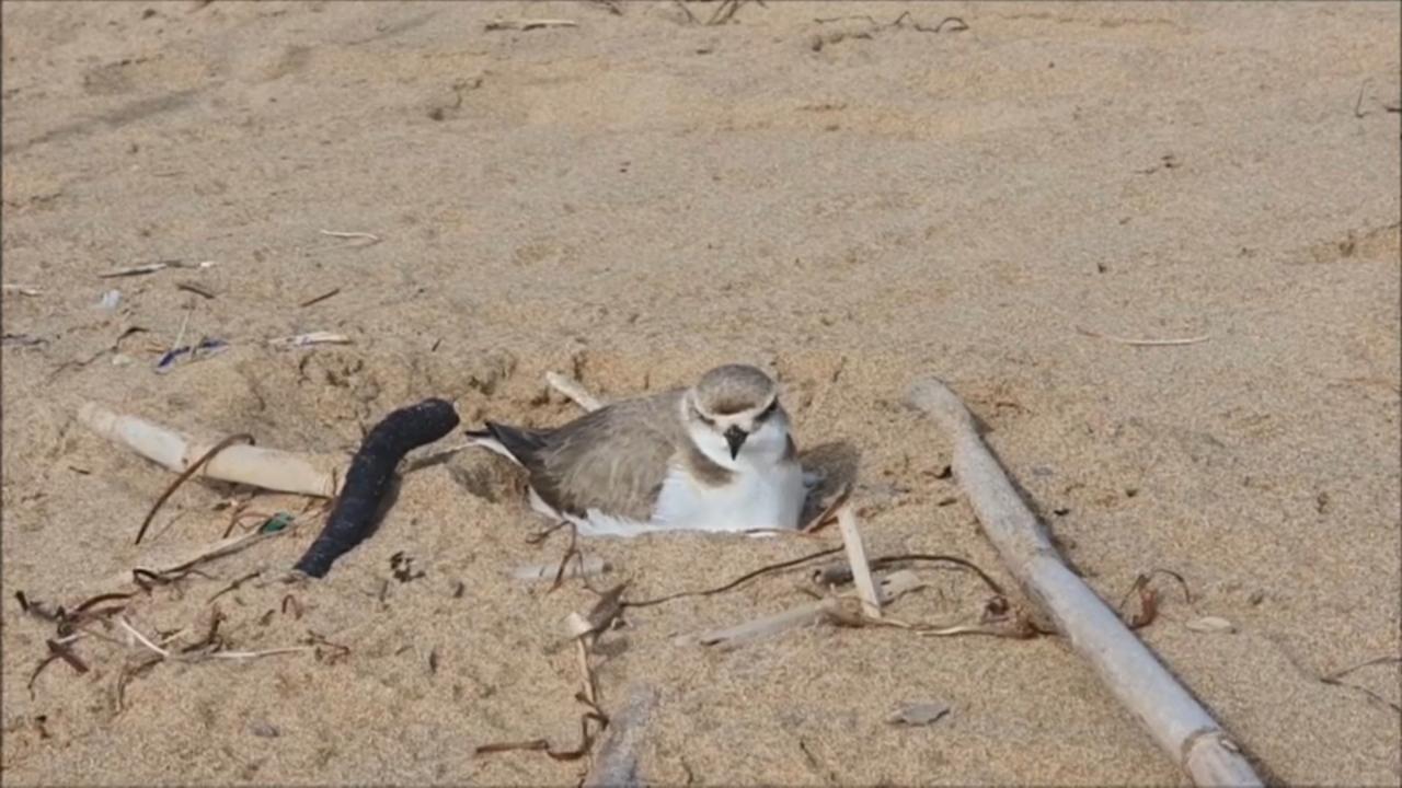 Corriol camanegre niuant a la platja de la Mata (Torrevella)