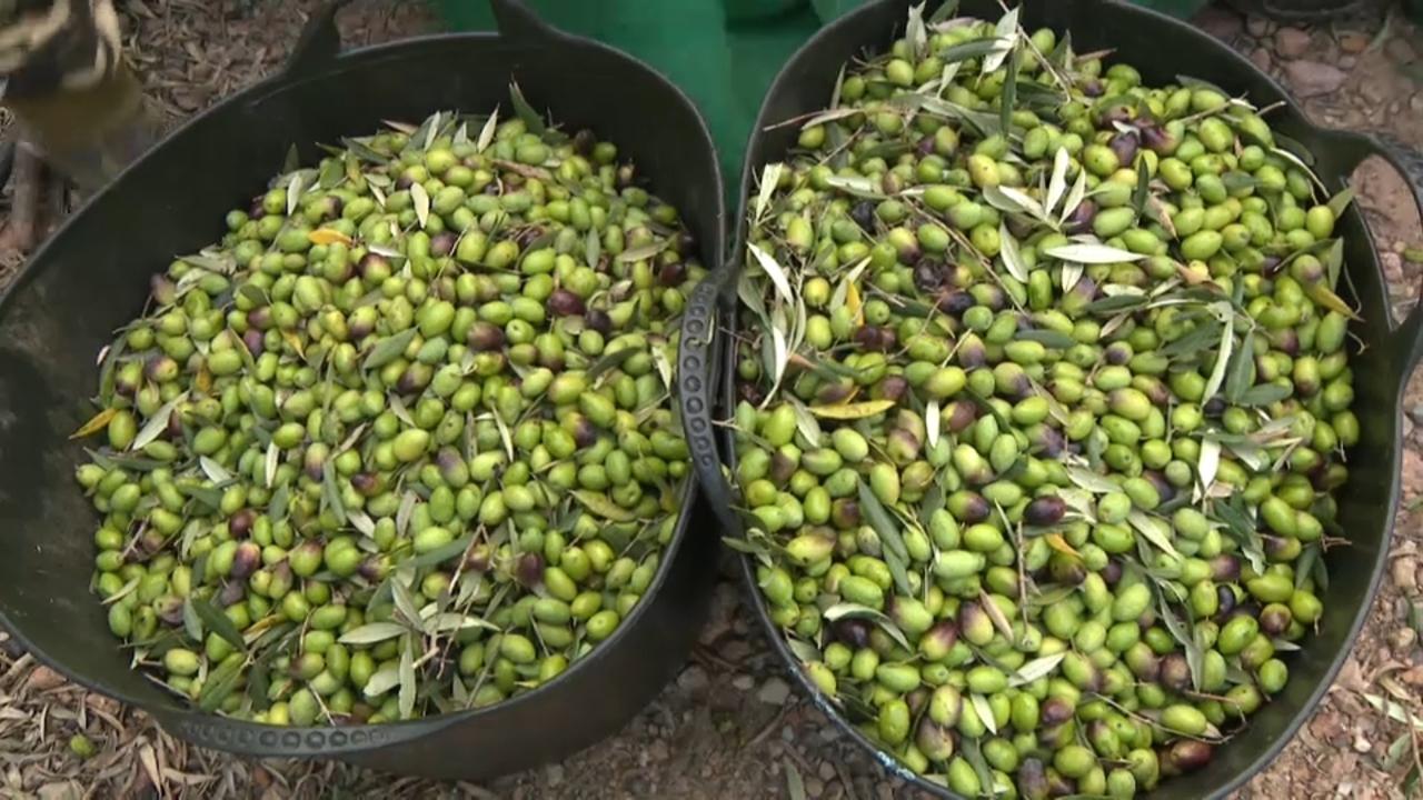 Només durant dos dies es poden collir les olives de varietat serrana per a fer aquest oli