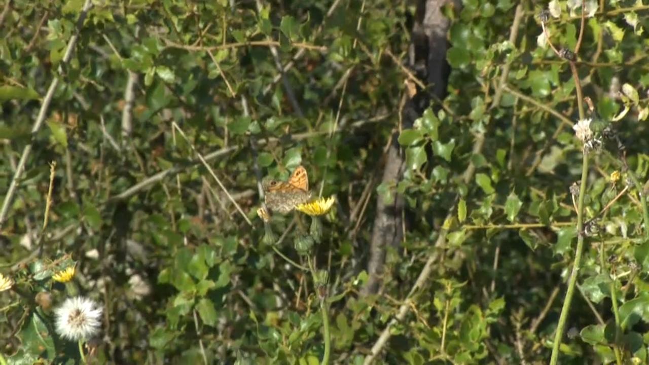 La papallona de l'arboç és l'espècie banderera d'esta microreserva