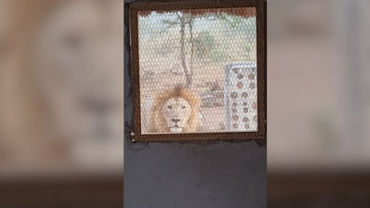 Nature guide wakes up to lion staring, growling at him in terrifying video