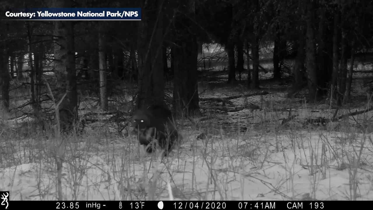 Rare wolverine sighting in Yellowstone National Park