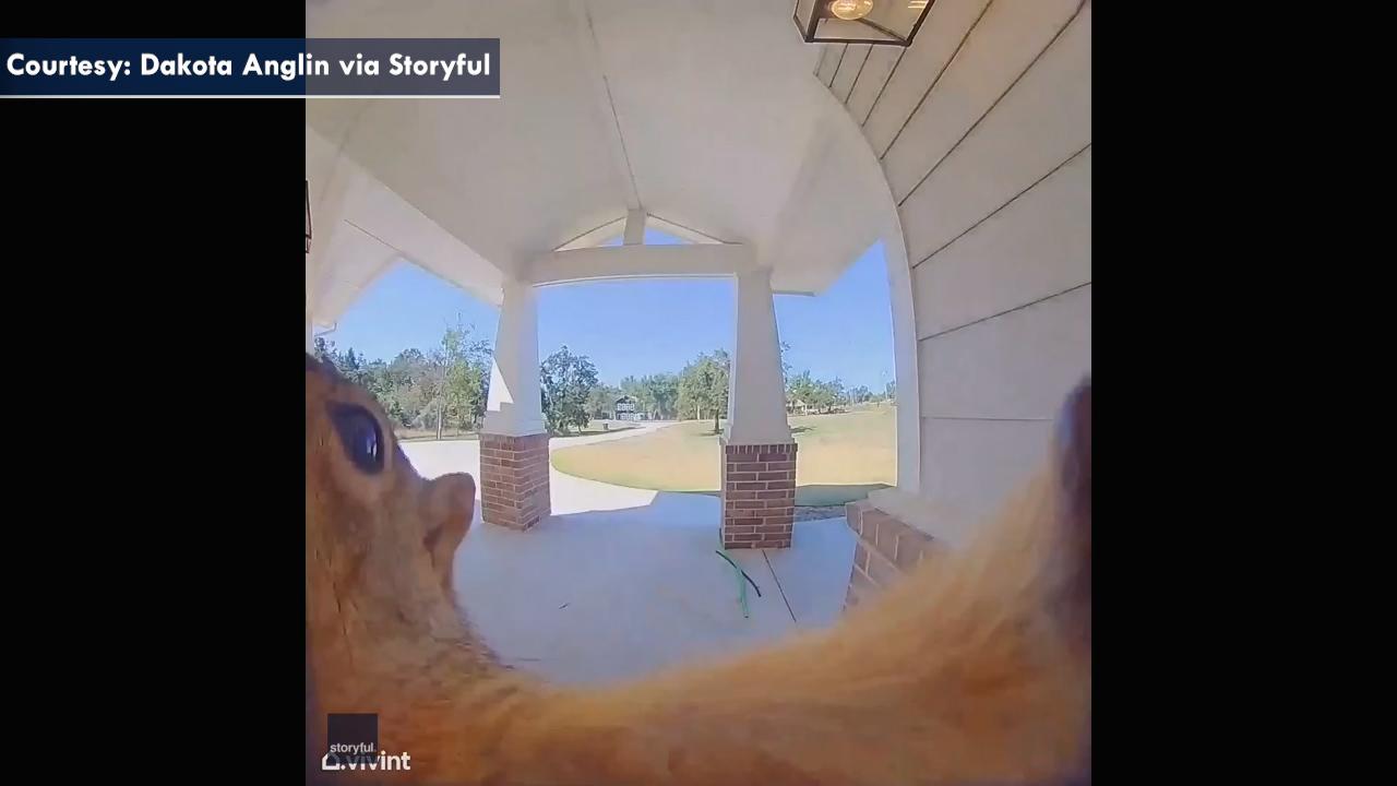 Squirrel ringing doorbell caught on homeowner's camera