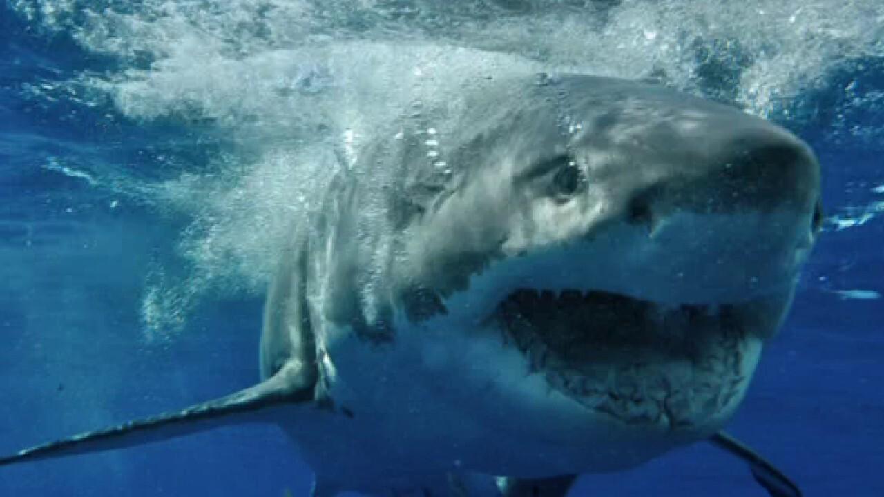 Cape Cod Great White Shark