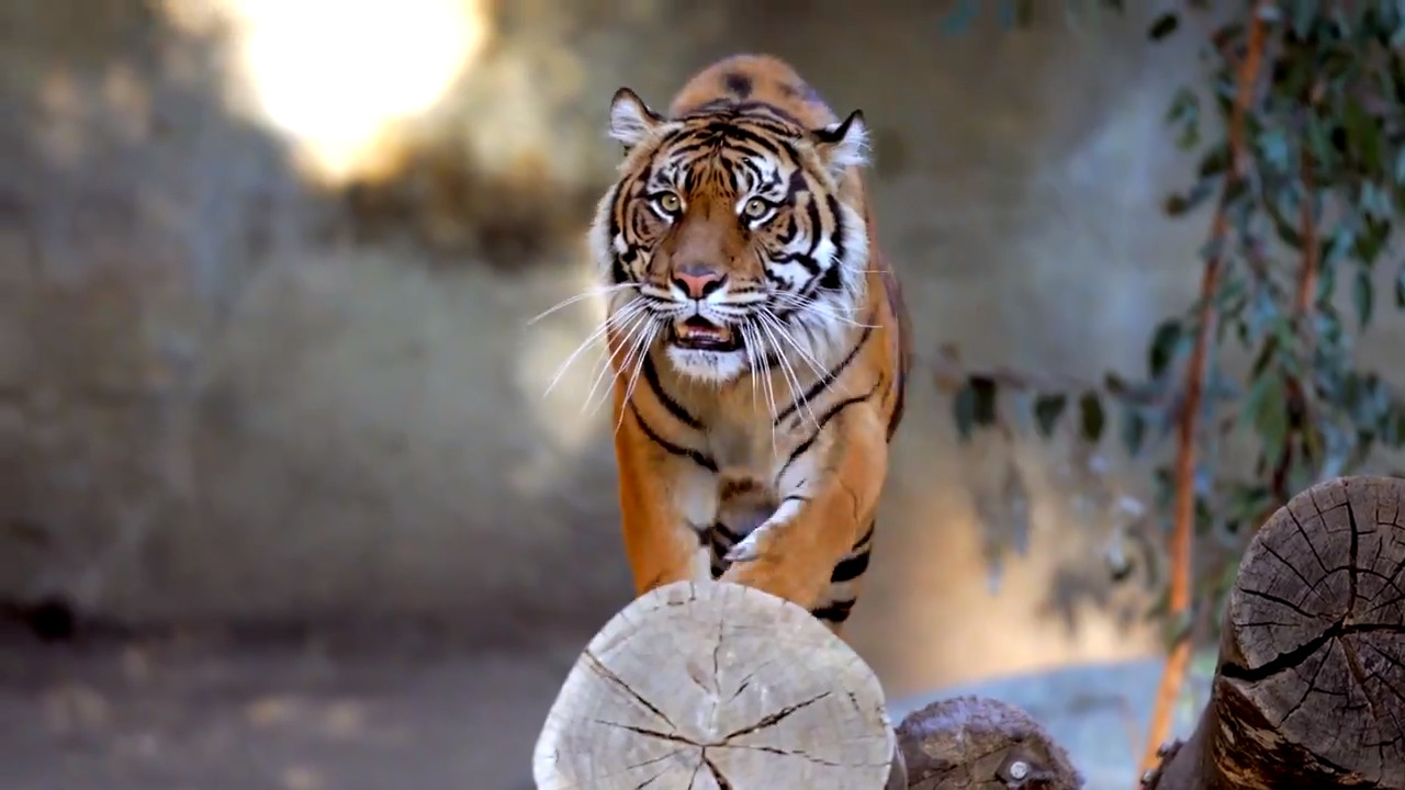 Reports of tiger on the loose near Oakland Zoo - fox