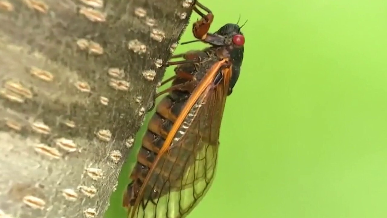What's that sound? Cicadas invade parts of Eastern US