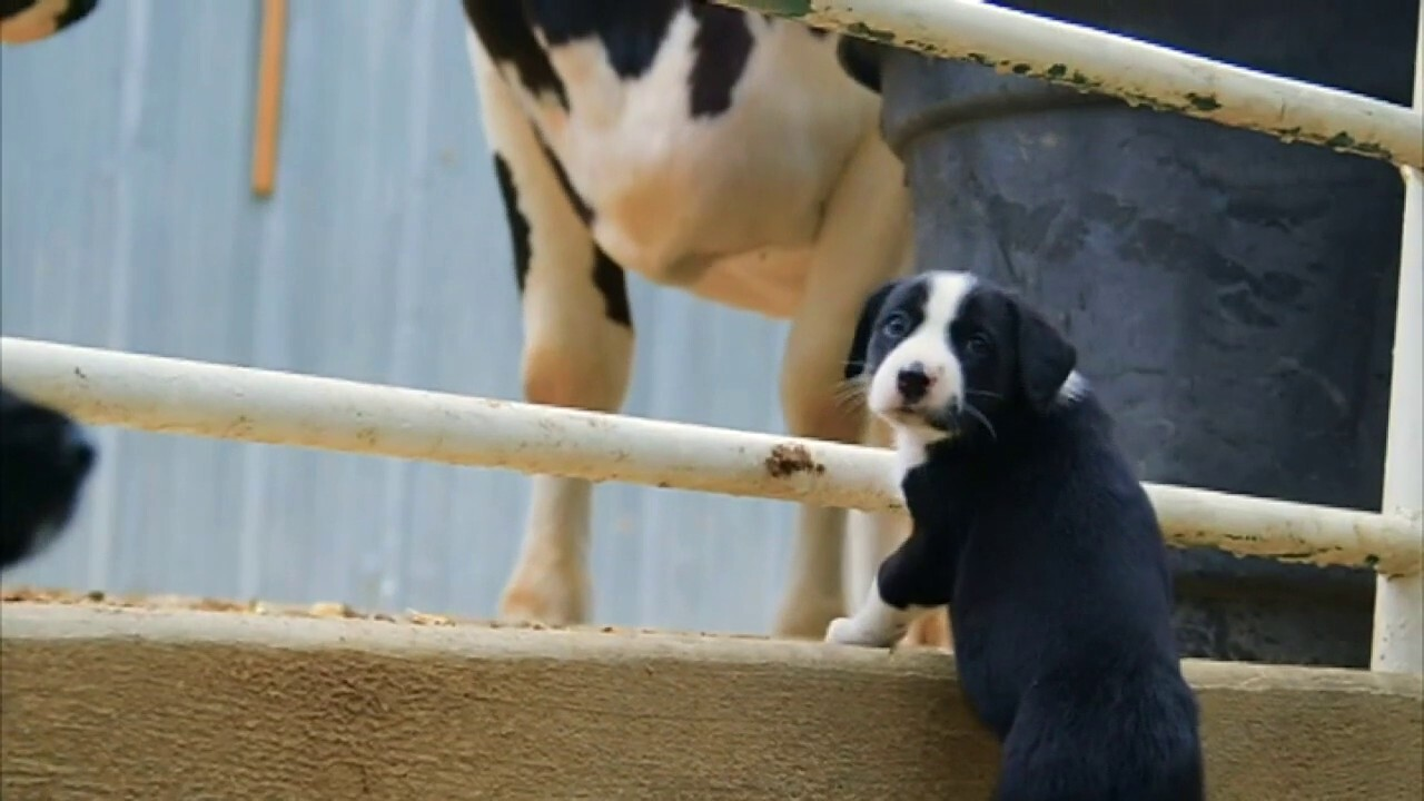 California animal rescue farm hosts puppies for companionship