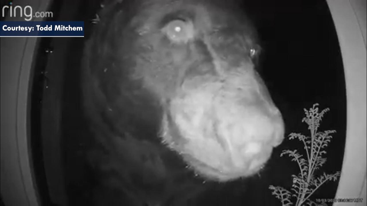 Colorado bear presses face against doorbell camera
